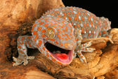 Tokay Gecko — Stock Photo