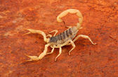 Desert Hairy Scorpion. — Stock Photo