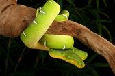 Emerald Tree Boa — Stock Photo
