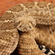 Photo: Western Diamondback Rattlesnake