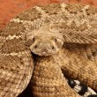 Western Diamondback Rattlesnake — Stock Photo #12626416