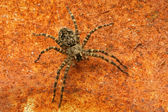 Fishing Spider. — Stock Photo