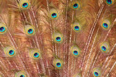 Peacock feathers. — Stock Photo