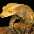 Crested Gecko. — Stock Photo #12641430