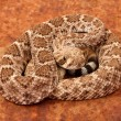 Stock Photo: Western Diamondback Rattlesnake.