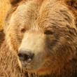 Grizzly Bear. — Stock Photo