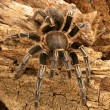 Tarantula, — Stock Photo