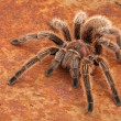 Chilean Rose Hair Tarantula — Stock fotografie