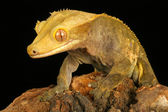 Crested Gecko. — Stock Photo