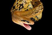 Taiwan Beauty Snake, — Stock Photo