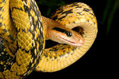 Taiwan Beauty Snake — Stock Photo