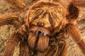 Caribbean Golden Grey Tarantula — Stock Photo