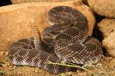Southern Pacific Rattlesnake (Crotalus viridis helleri) — Stock Photo