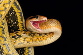 Taiwan Beauty Snake (Elaphe taeniura friesei) — Stock Photo
