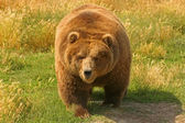Grizzly Bear (Ursus arctos) — Stock Photo