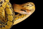 Taiwan Beauty Snake (Elaphe taeniura friesei) — Stock Photo