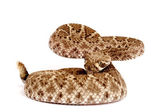 Western Diamondback Rattlesnake (Crotalus atrox). — Stock Photo