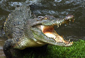 Crocodile. — Stock Photo