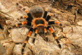 Mexican Redknee Tarantula (Brachypelma smithi) — Stock Photo
