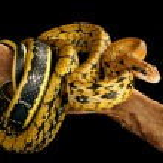 ������, ������: Taiwan Beauty Snake
