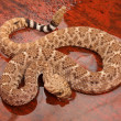 Ouest diamondback crotale — Photo