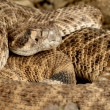 Westerse diamondback ratelslang — Stockfoto