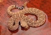 Western Diamondback Rattlesnake — Stock Photo