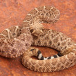 Western Diamondback Rattlesnake. — Stock Photo #13124300