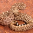 Western Diamondback Rattlesnake. — Stock Photo