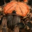 Stock Photo: CostRicTiger Rump Tarantula