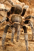 Zebra Tarantula — Stock Photo