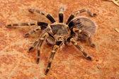 Chaco Golden Knee Tarantula — Stock Photo