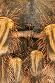 Chaco Golden Knee Tarantula — Stock Photo
