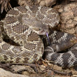 Stock Photo: Southern Pacific Rattlesnake.