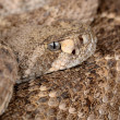 Western Diamondback Rattlesnake. - Photo