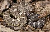 Southern Pacific Rattlesnake. — Stock Photo