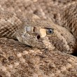 Westerse diamondback ratelslang — Stockfoto #15741351