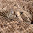 occidentale diamondback rattlesnake — Foto Stock #15741351