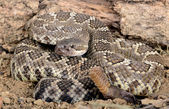 Southern Pacific Rattlesnake. — Stock Photo