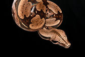 Red Tail Boa. — Stock Photo