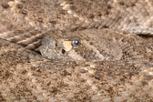 Western Diamondback Rattlesnake (Crotalus atrox). — Stock Photo