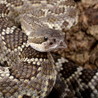 Portrait of a Southern Pacific Rattlesnake. — Stock Photo