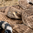 Royalty-Free Stock Photo: Western Diamondback Rattlesnake.