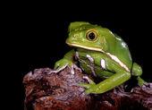 Waxy Monkey Tree Frog — Stock Photo
