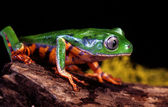 Tiger Leg Tree Frog — Stockfoto