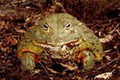 African Bullfrog. — Stock Photo