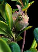 Chameleon peering through branches of a bush. — Stock Photo
