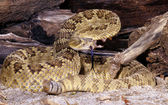 Mojave Rattlesnake. — Stock Photo