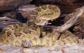 Mojave Rattlesnake. — Stock Photo