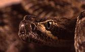 Rattlesnake — Stock Photo